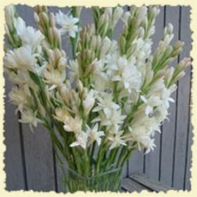 12 winter tuberoses with vase