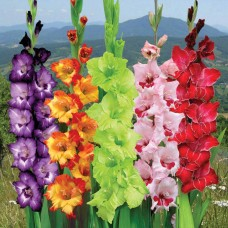 Mixed Coloured Gladiolus for valentine day